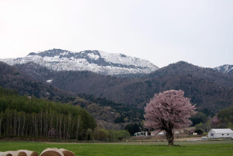 富良野 5月 桜 一本桜
