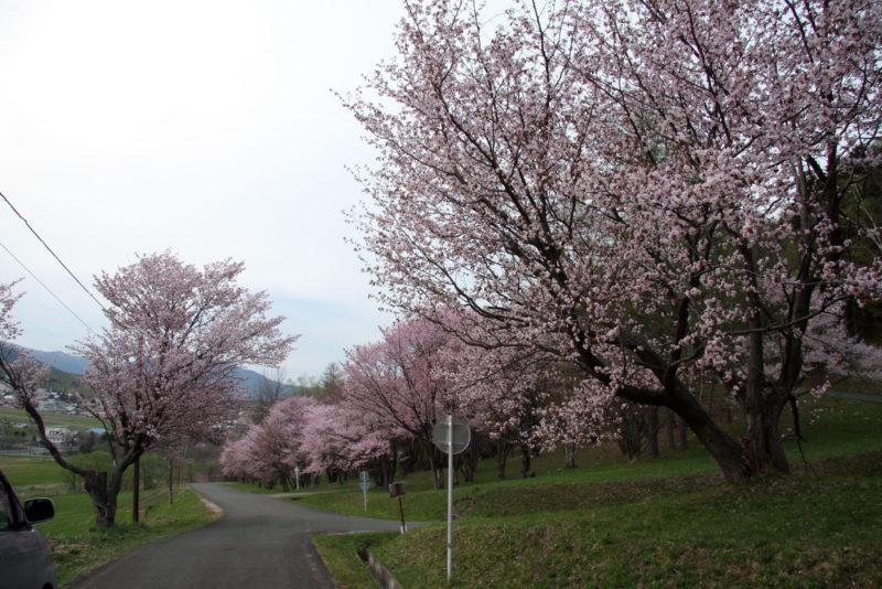 富良野 5月 桜 朝日が丘公園