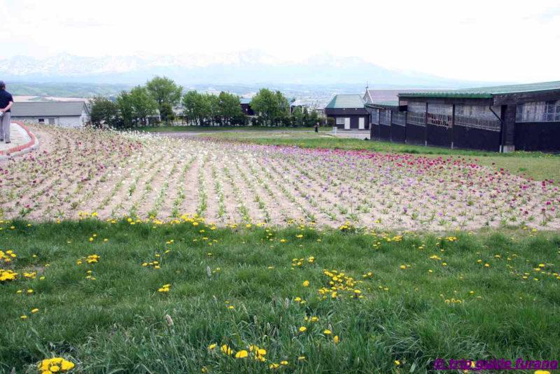 フラワーランドかみふらの 富良野 花畑 5月
