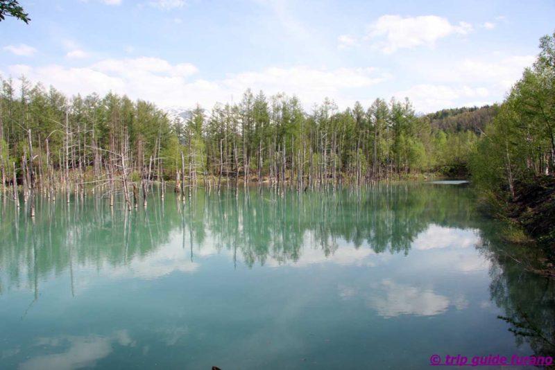 美瑛 富良野 青い池 5月 観光