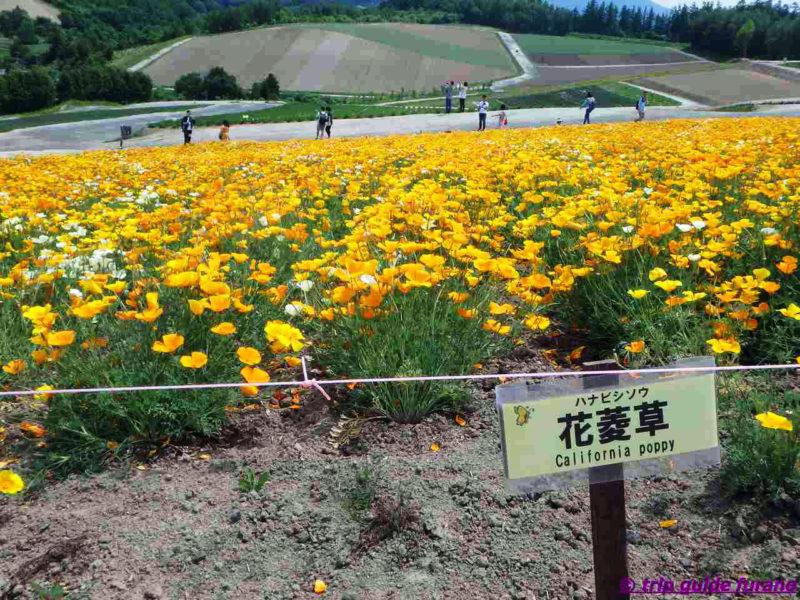 四季彩の丘 ふらの 花 6月